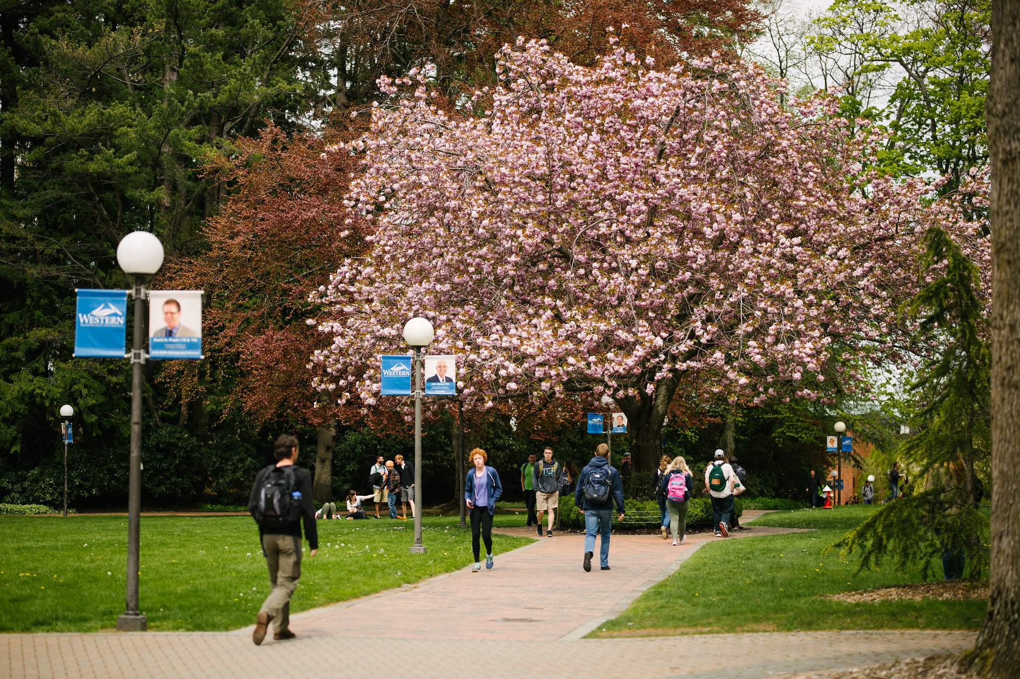 Student walking to class among blooming pink trees on a spring day
