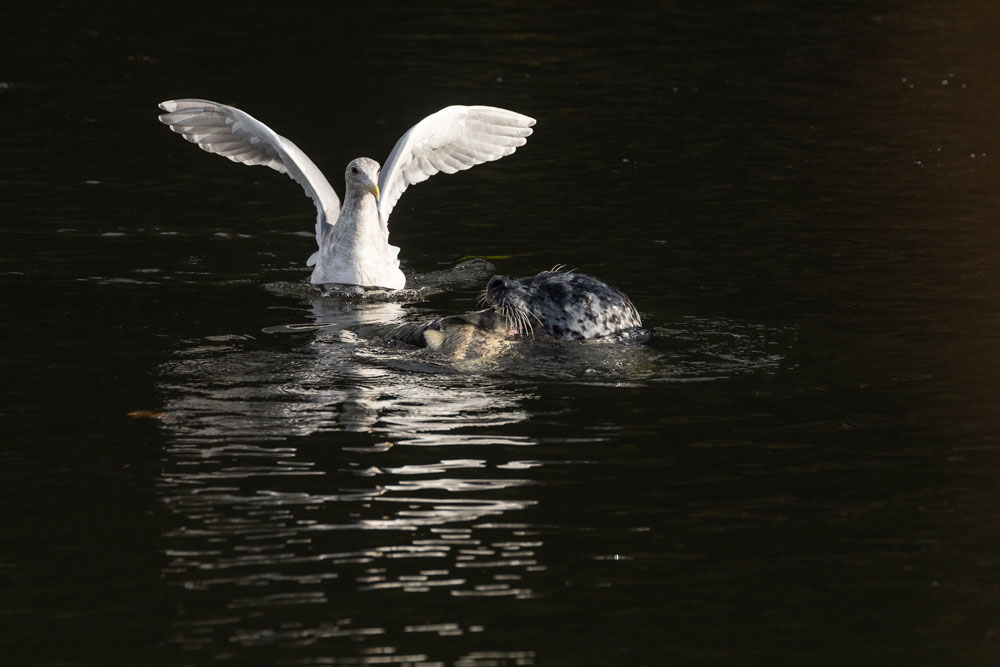 At Whatcom Creek in Bellingham: a large Glaucous-winged gull floats on the water and flaps its wings. It looks at a Harbor seal catching a salmon.